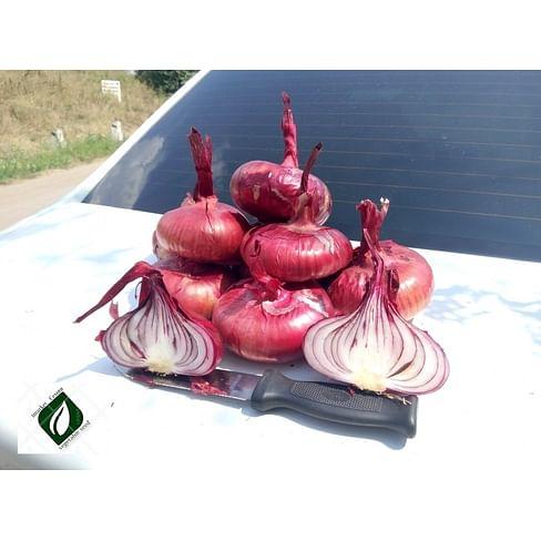 Ялтинский семена лука репчатого красного раннего 1 000 семян Semenaoptom/Семенаоптом