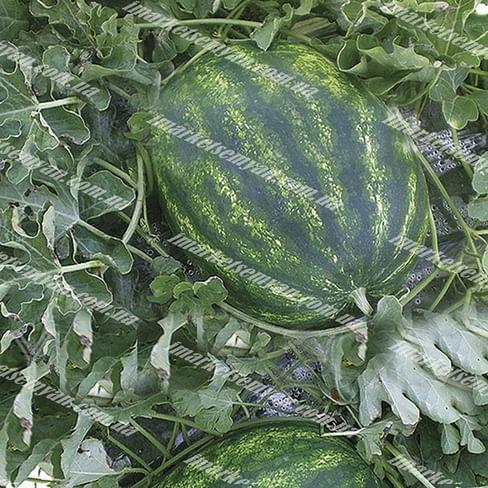 Хилон F1 (141-172) семена арбуза раннего Yuksel/Юксел