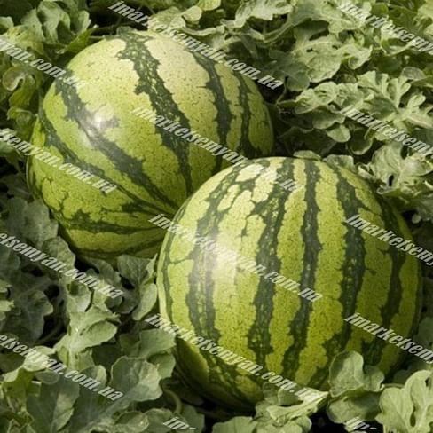 Колумбия 62-281 F1 семена арбуза тип Кримсон Свит среднего Rijk Zwaan/Рийк Цваан