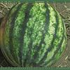 Минипул F1 семена арбуза тип Кримсон Свит среднего 1 000 семян Hazera