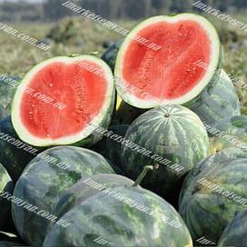 Экстази F1 семена арбуза бессемянного тип Мини среднего Hazera
