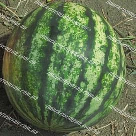 Спринтер F1 семена арбуза тип Кримсон Свит раннего 1 000 семян Hazera