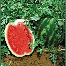 Соренто F1 семена арбуза раннего 1 000 семян Syngenta/Сингента