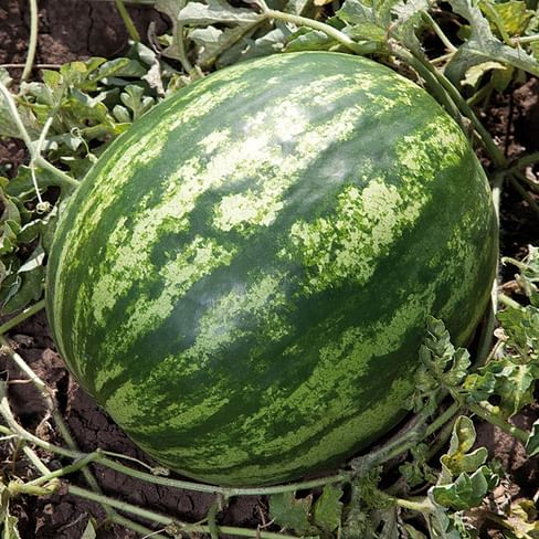КС 165 F1 семена арбуза тип Кримсон Свит раннего Kitano/Китано