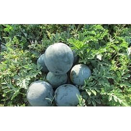 LS 1545 F1 семена арбуза раннего тип Шуга Беби Lucky Seed