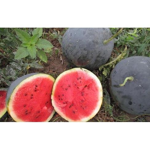 LS 1544 F1 семена арбуза среднего тип Шуга Беби Lucky Seed