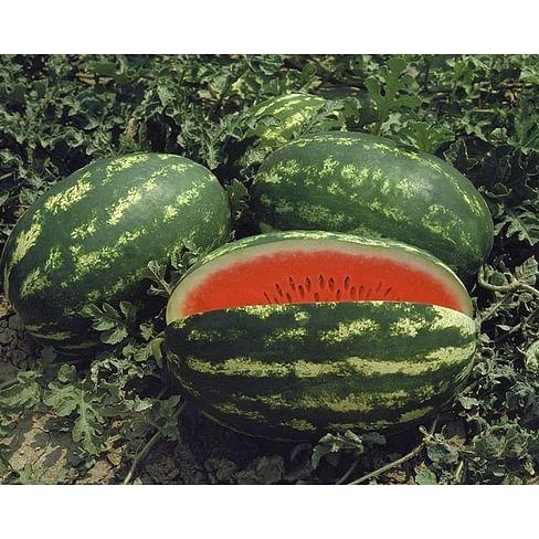Думара F1 семена арбуза тип Кримсон Свит среднеспелого 1 000 семян Nunhems