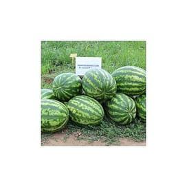 Астрахан F1 семена арбуза среднего 1 000 семян Syngenta/Сингента