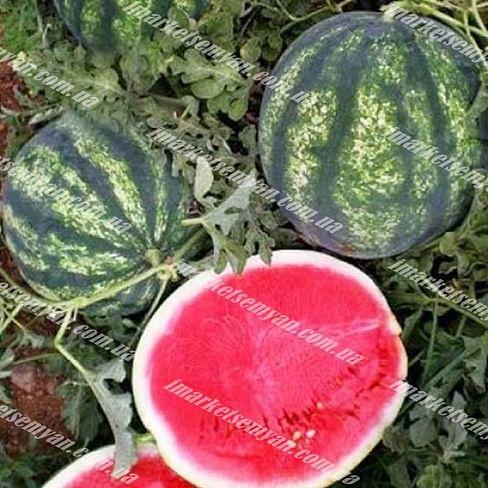 Биант F1 (Эркен F1) семена арбуза Yuksel/Юксел