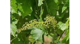 """Защита винограда во время цветения - рекомендации компании """"Summit-Agro"""""""