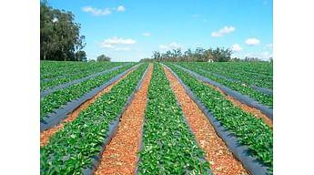 Почвенные гербициды на клубнике - залог чистого поля