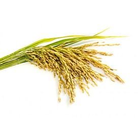 Рис: выращивание, уход, защита