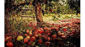 Почему опадают недозревшие яблоки?