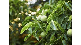 Защита грецкого ореха от вредителей и заболеваний – система защиты от компании «Syngenta»