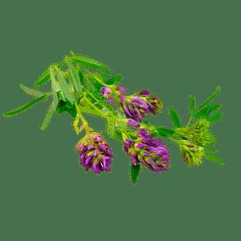 Люцерна: выращивание, уход, защита