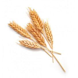 Пшеница: выращивание, уход, защита