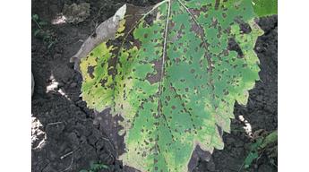 Фунгициды Кустодия и Суприм от опасных заболеваний подсолнечника