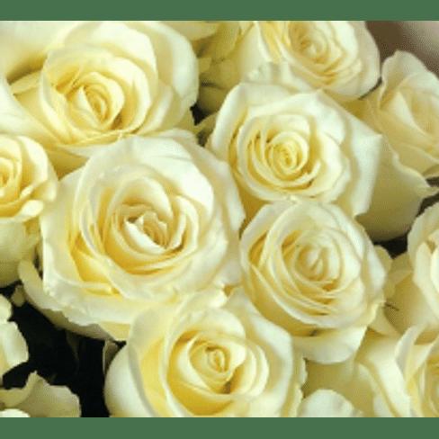 Роза Анабель, РБ