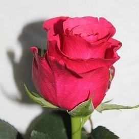 Роза Пинк Тазаки, Кения