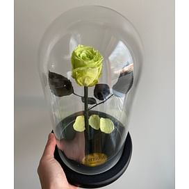 Роза в колбе фисташка (Standart)