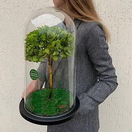 Бонсай (гортензия) зеленый