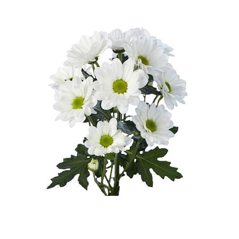Кустовая хризантема Баккарди (ромашковая хризантема)