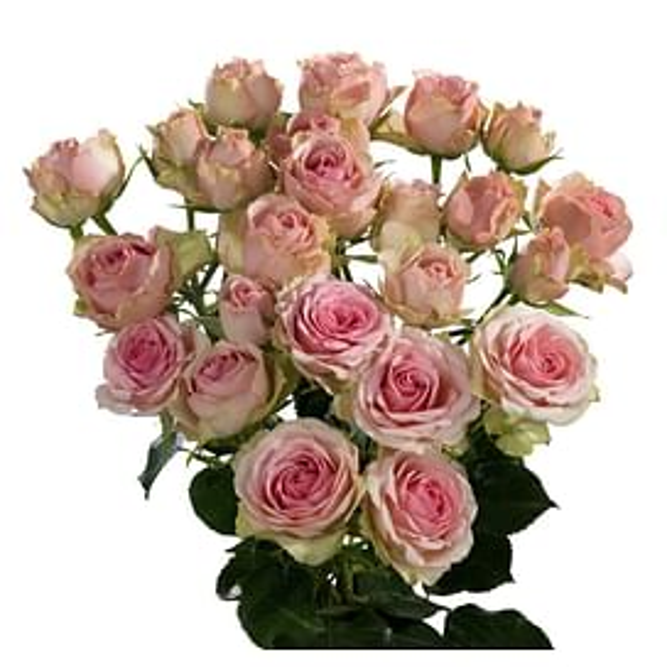 Кустовая роза Динара 60 см