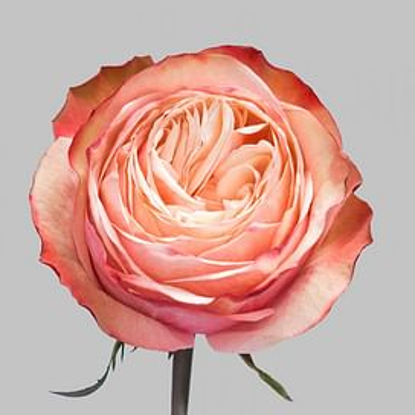 Роза Кахала 60 см