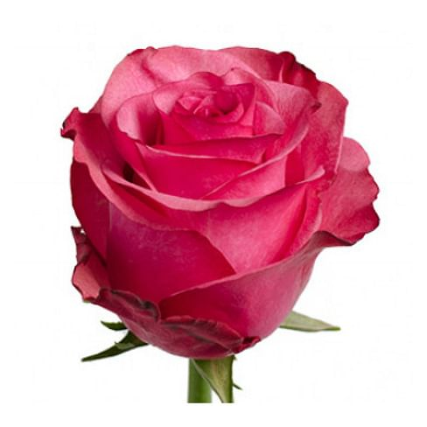 Роза Лола 60 см