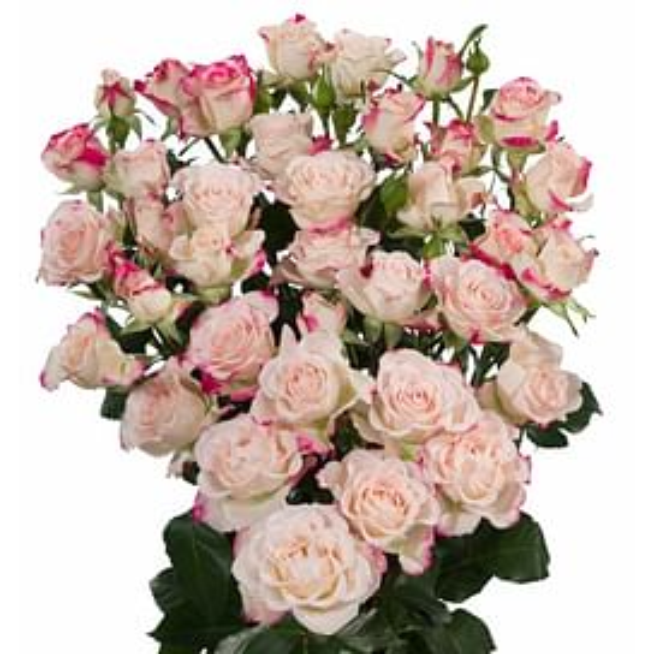 Кустовая роза Рефлекс 60 см