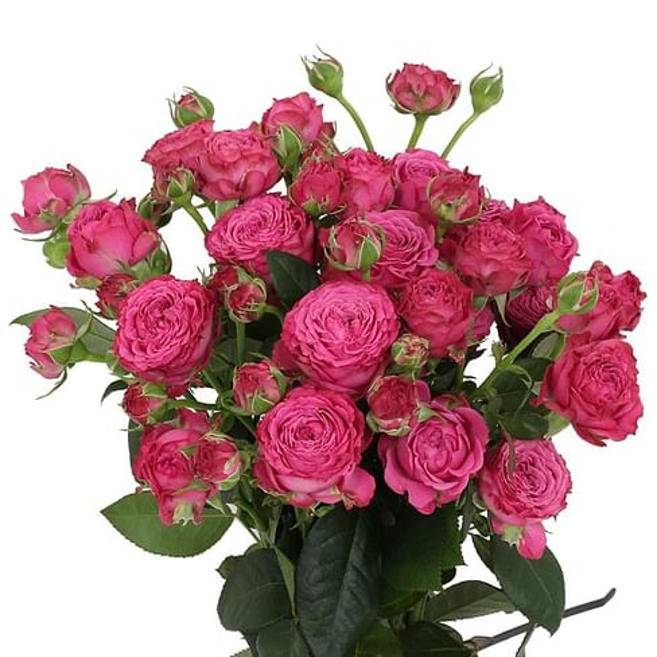 Кустовая роза Классик Сенсейшн