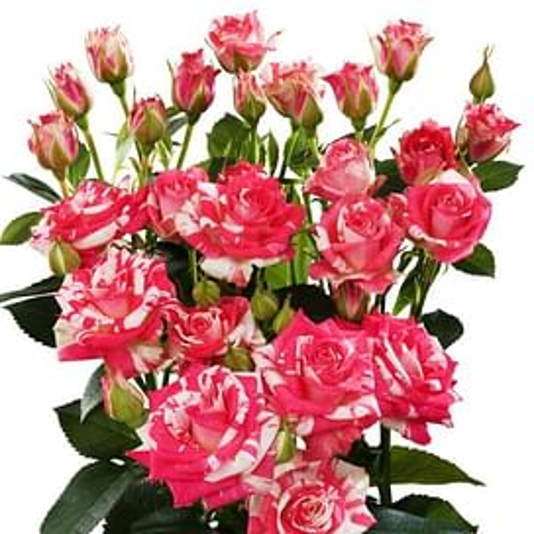 Кустовая роза Файр Воркс 60 см