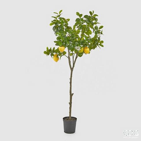 Лимонное дерево EDG Enzo De Gasperi Арт.250620,20