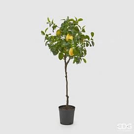 Лимонное дерево EDG Enzo De Gasperi Арт.250619,20