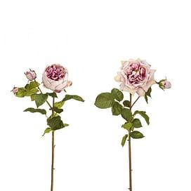 Роза Дэвид Остин SIA Арт.010515