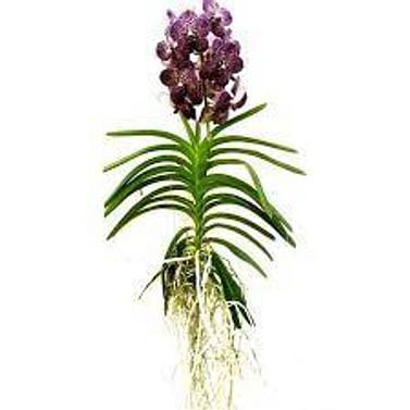 Орхидея Ванда микс
