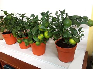 Цитрусовое деревце Лемандарин \ Рангпур Лайм citrina