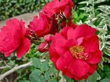 Роза парковая Adelaide Hoodless