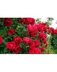 Роза Adelaide Hoodless парковая