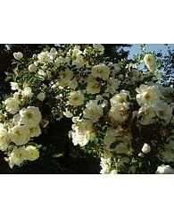 Роза бедренцеволистная (2-4шт.) парковая