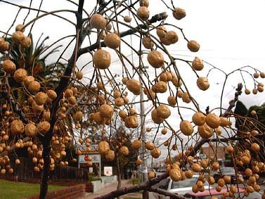 Картофельное дерево