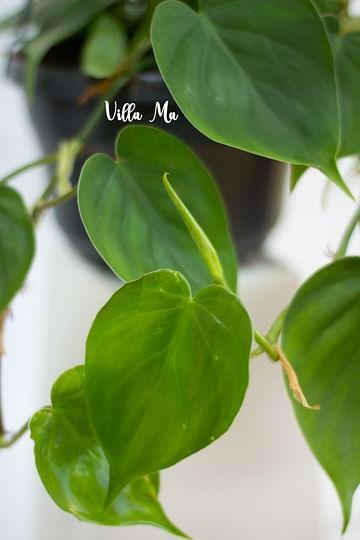 Филодендрон зелёный сердцелистный