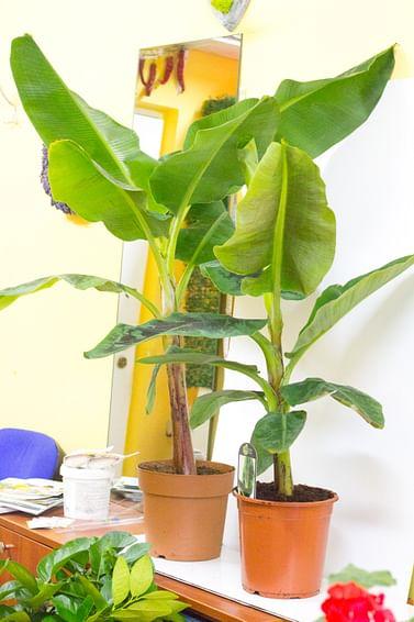 Комнатный банан супер карлик Dwarf Cavendish