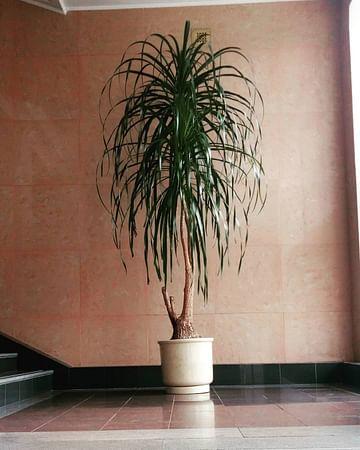 Бокарнея 70см Пальма