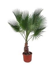Вашингтония Робуста 100 Пальма