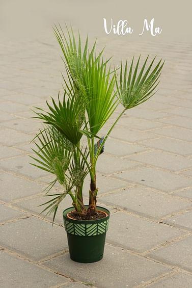 Пальма вашингтония Робуста
