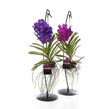 Орхидея Ванда микс на подставке