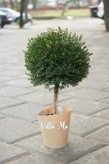 Миртовое дерево 100
