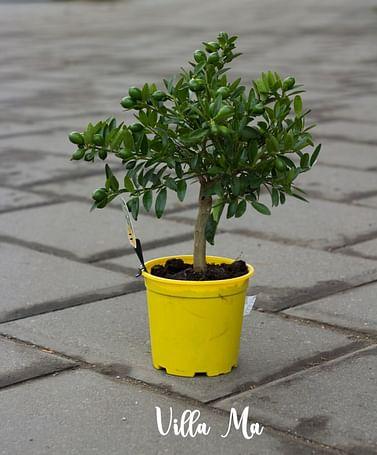 цитрусовое деревце d 12