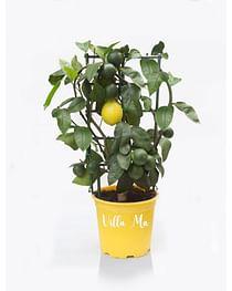 Лимон Мейера /на решетке